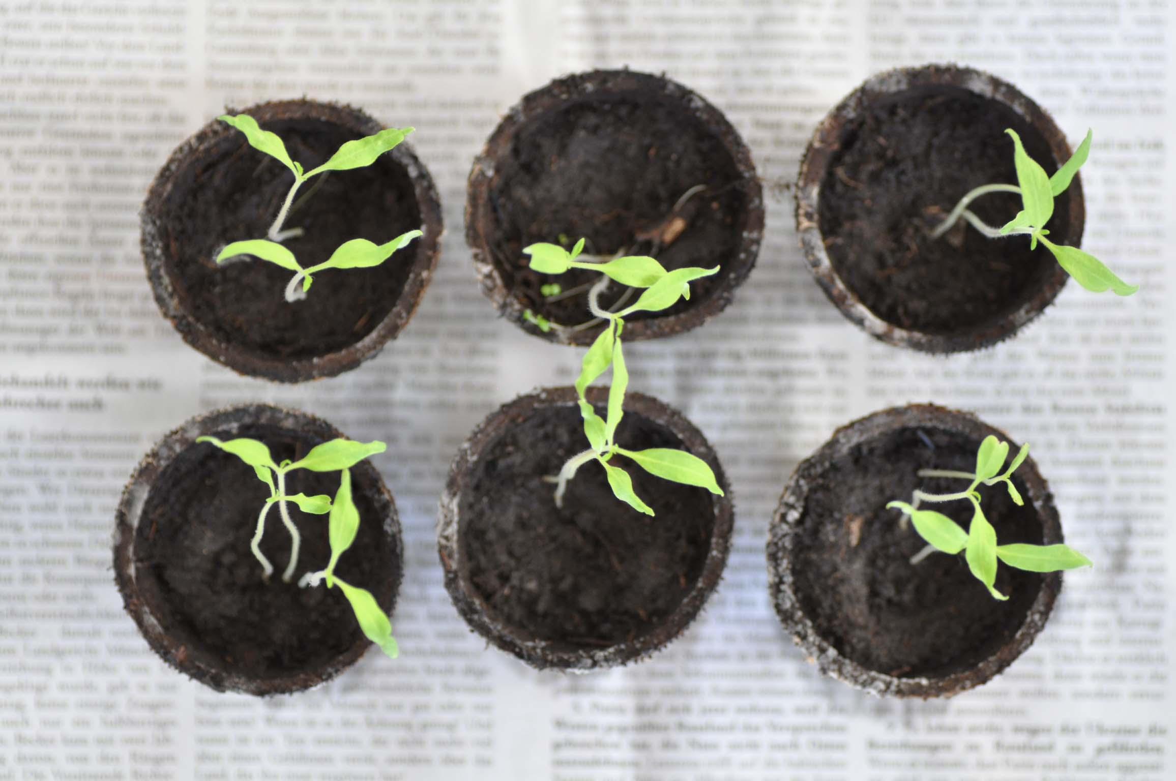 tomato seedlings_bearbeitet-1