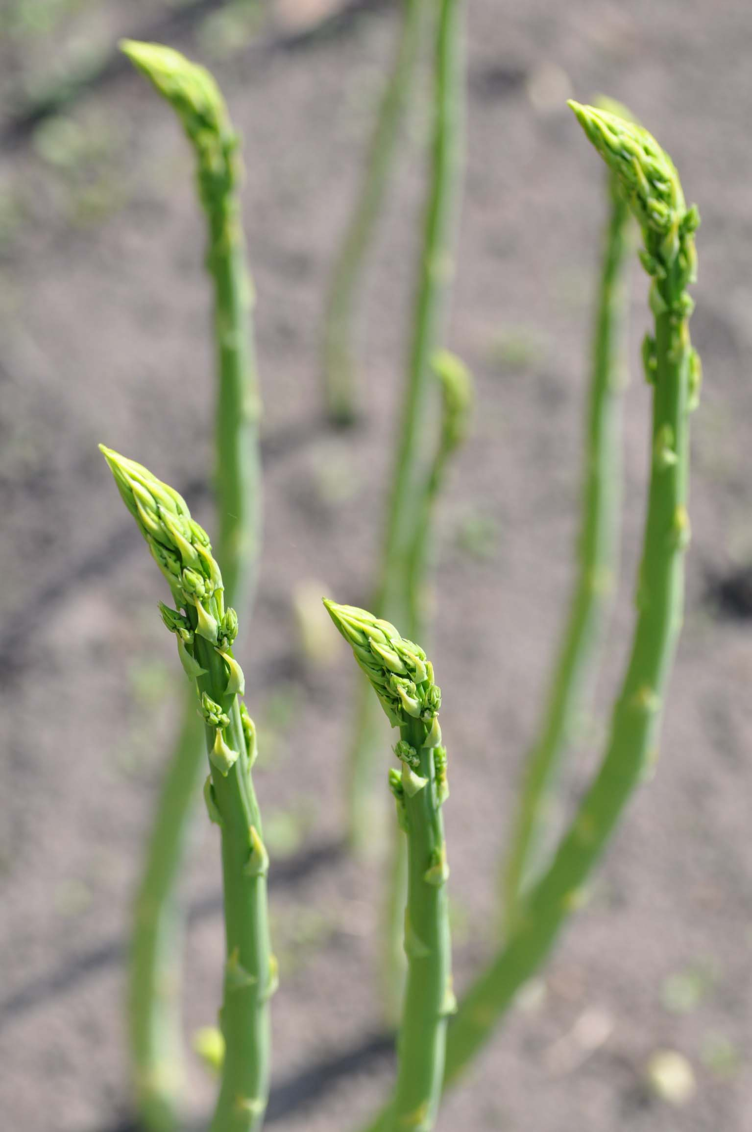 green asparagus_bearbeitet-1