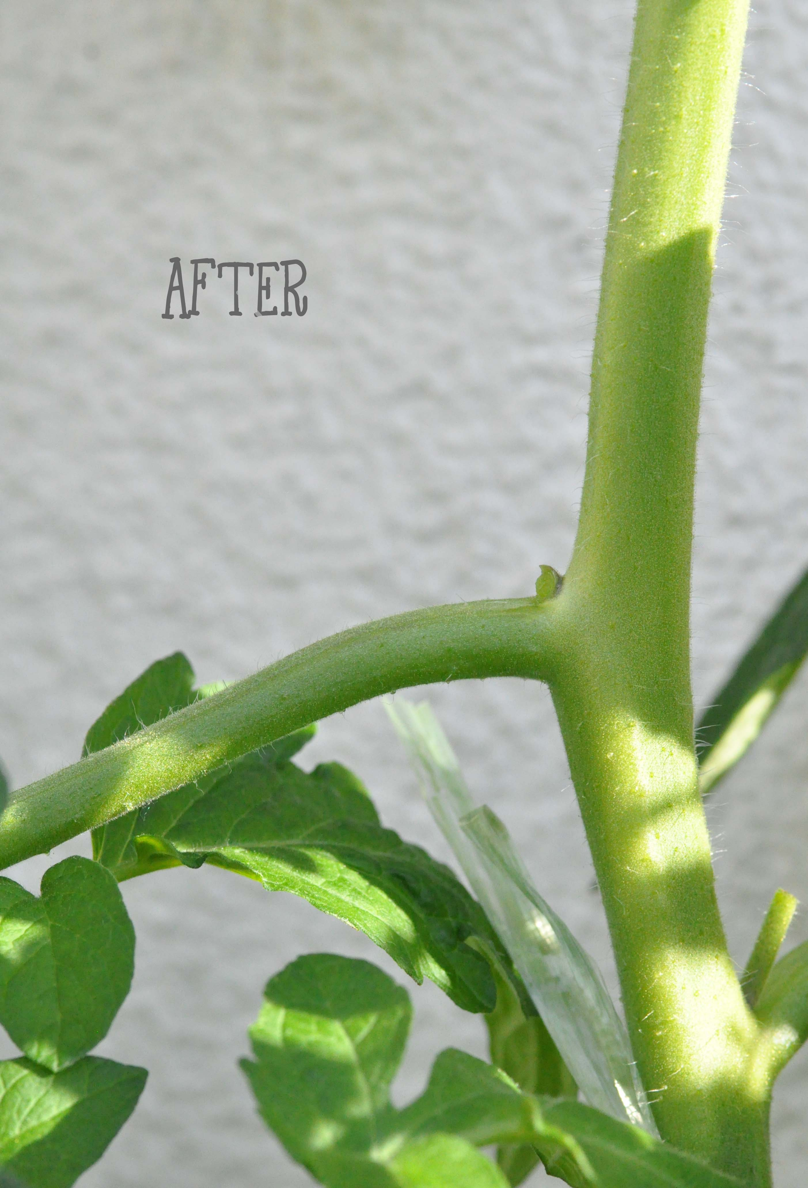 tomaten ausgegeizt_bearbeitet-2