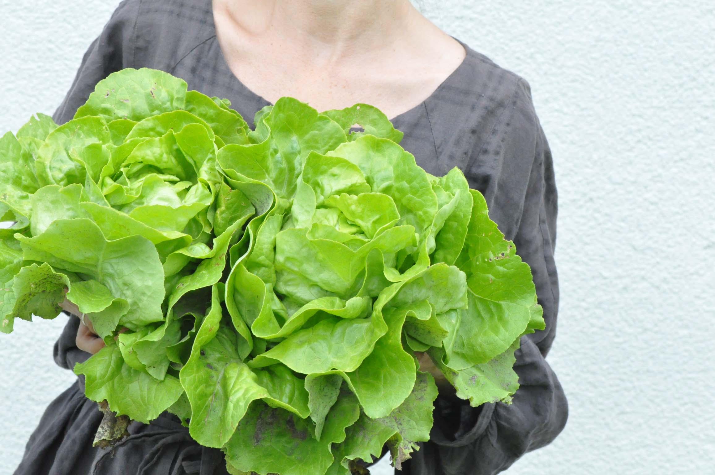 lettuce harvest_bearbeitet-1