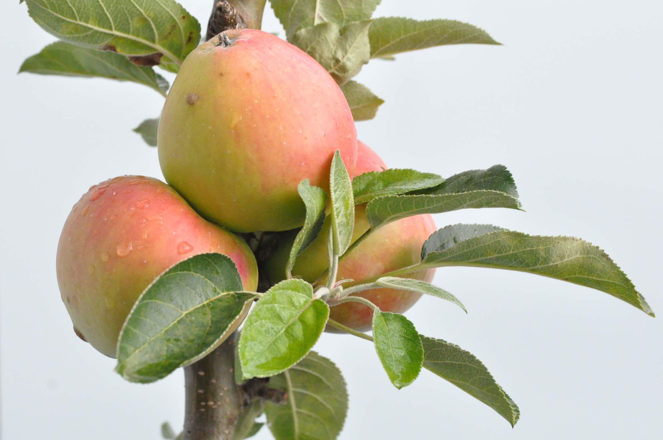 apples_terrace_bearbeitet-1