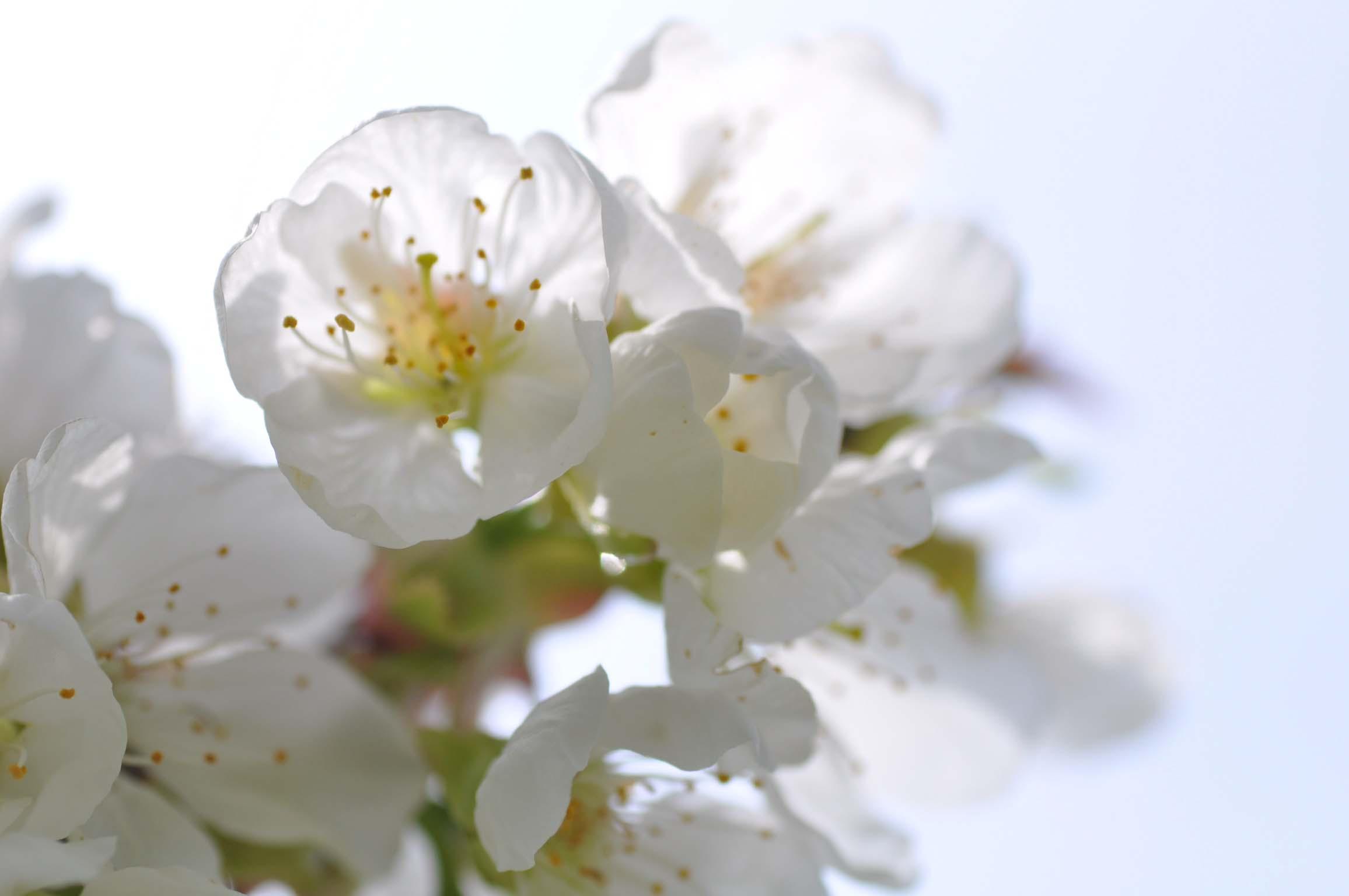 cherry blossom_bearbeitet-1