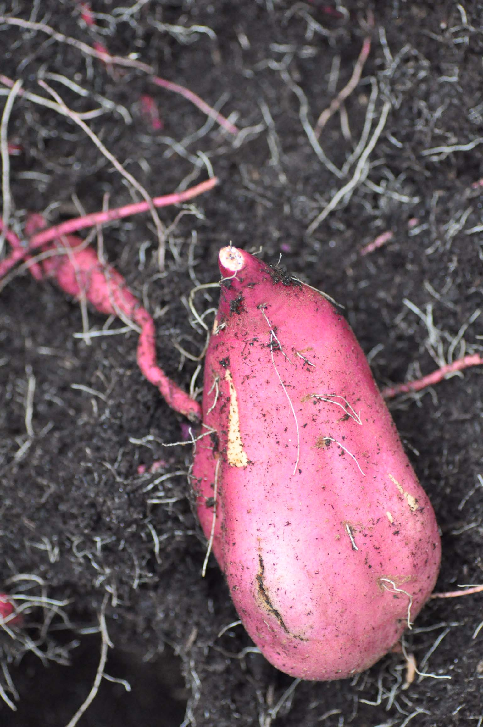 sweet-potatoe_bearbeitet-1